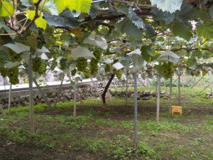 フカサワファ-ムシャイン農場